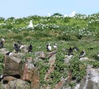 These puffins seem happy nesting on Melrakkaey Island just off Iceland's shores in Breiðafjörður Bay.
