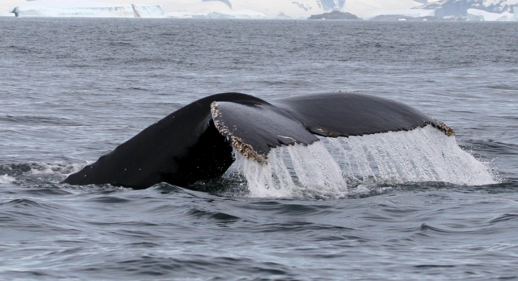 スナイフェルスネス半島ブレイザフィヨルズルにて目撃されたアイスランドの鯨