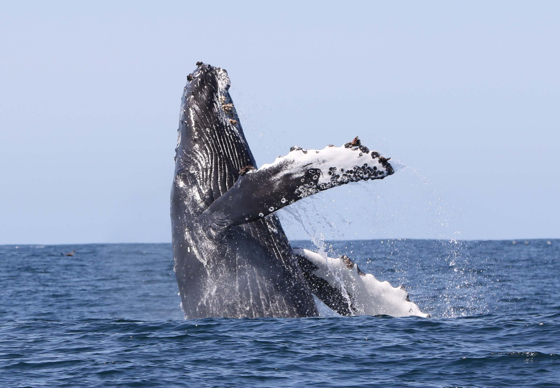 A mighty humpback breaches the waters of the Westfjords.