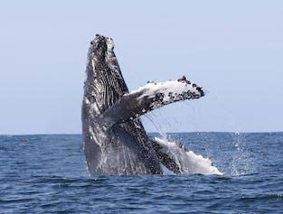 Whale Watching at  Holmavik, Westfjords