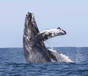 Наблюдение за китами в Хоульмавик в Западных фьордах