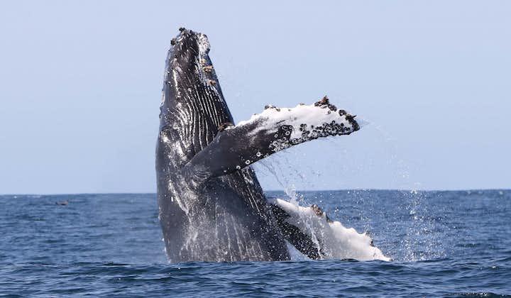 Observation de baleines au large d'Holmavik | Westfjords