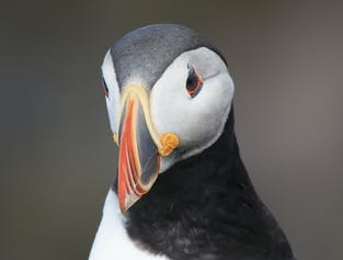 Puffin Watching Tour from Snaefellsnes Peninsula