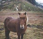 Un cheval islandais sur la péninsule de Snæfellsnes.