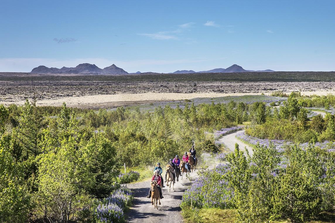 Vom Pferderücken aus kannst du den Kontrast von grünen Wiesen und lila Lupinen zu den schroffen Lavafeldern Islands erleben.