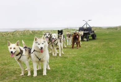 Siberian huskies and Greenland dogs will be pulling your dog sled.