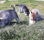 Gli Husky Siberiani sono amichevoli ed addestrati.