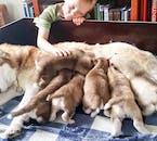 ミーヴァトン発|シベリアンハスキーがひく犬ぞり体験