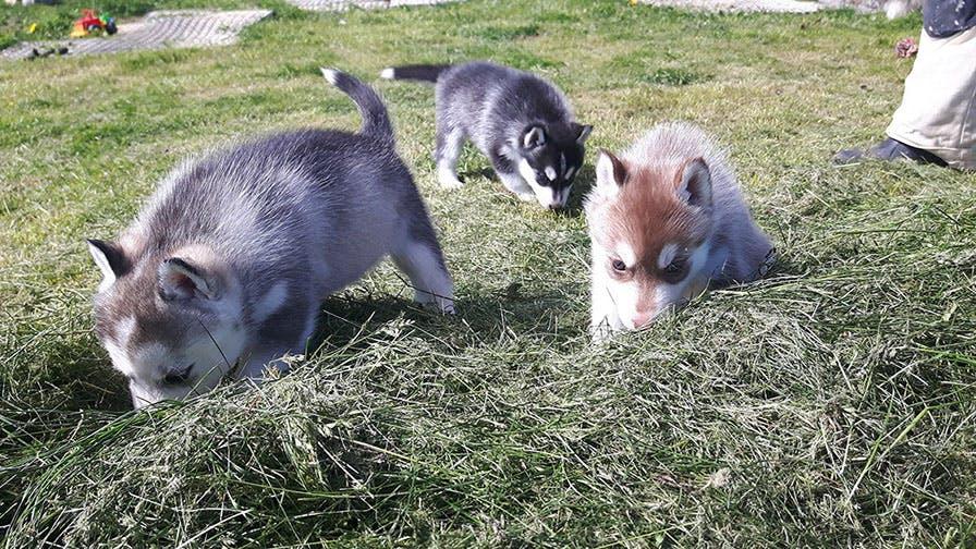 Husky-Besuch auf einem Bauernhof | bei Mývatn