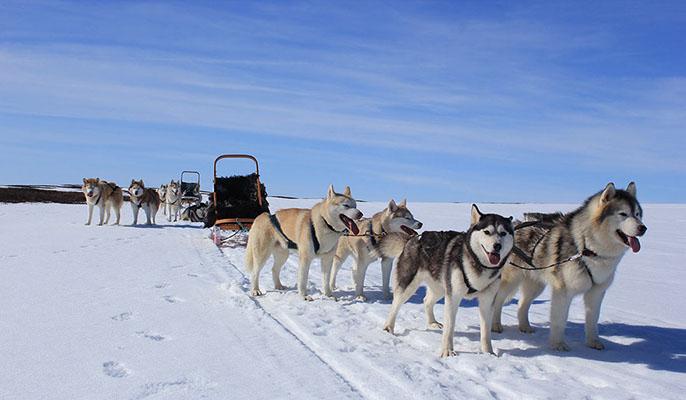 犬ぞりツアーは雪が好きで強くて元気なシベリアンハスキーがひく