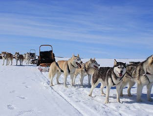 Visit a Dog Sled Kennel on an Icelandic Farm | Lake Myvatn Area