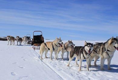 Visite d'un élevage de chiens de traîneau   Région du lac Myvatn