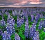 Łubin na Islandii występuje latem i pokrywa znaczną część kraju.