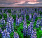 The Arctic Lupin is a beautiful flower that has spread all around Iceland.
