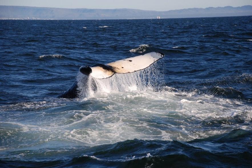 팍사플로이 만에 살고 있는 어류 중 하나인 혹등고래.