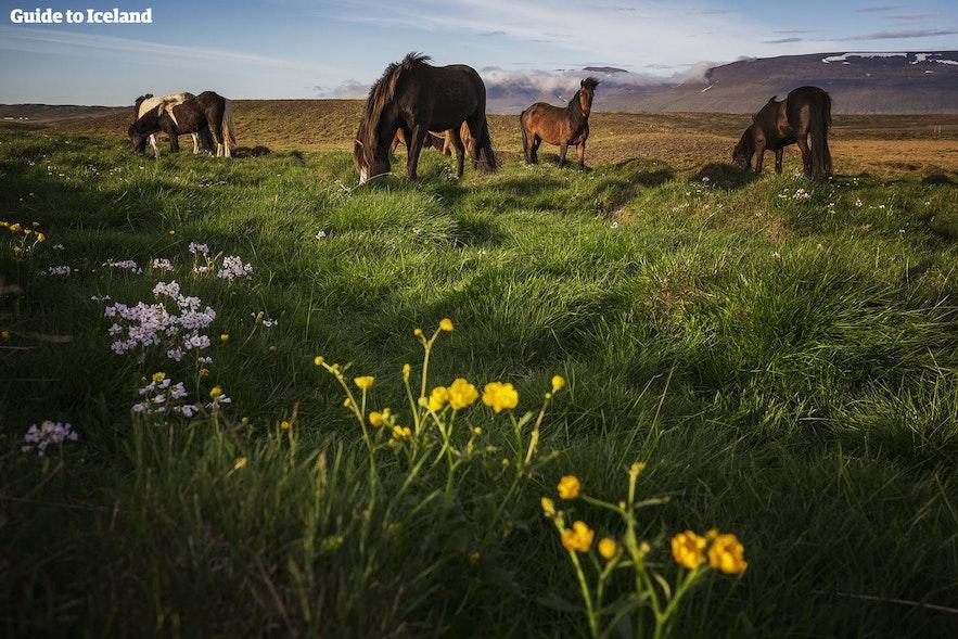 Islandshästar betar på ett sommarfält