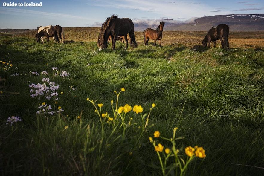 Исландские лошадки пасутся на зеленом лугу, усеянном цветами, в Исландии летом.
