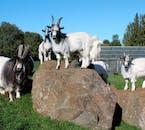 Húsdýragarðurinn Zoo allows for a close encounter with Icelandic farm animals.