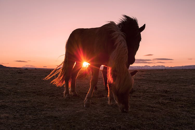 The Icelandic horse is a breed that is unique to Iceland and it has lived here for more than a thousand years.
