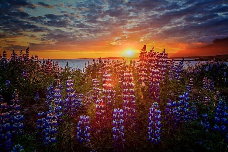 Objedź Islandię dookoła i przekonaj się jak wyglądają pola fioletowego łubinu w trakcie białych nocy.
