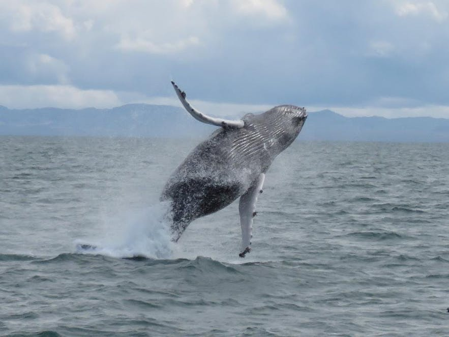 レイキャヴィークのファクサフロゥイ湾でブリーチングしているクジラ