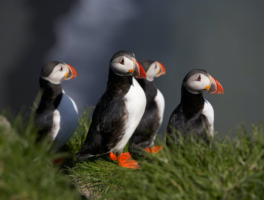 Best time to visit Iceland for whale and puffin watching