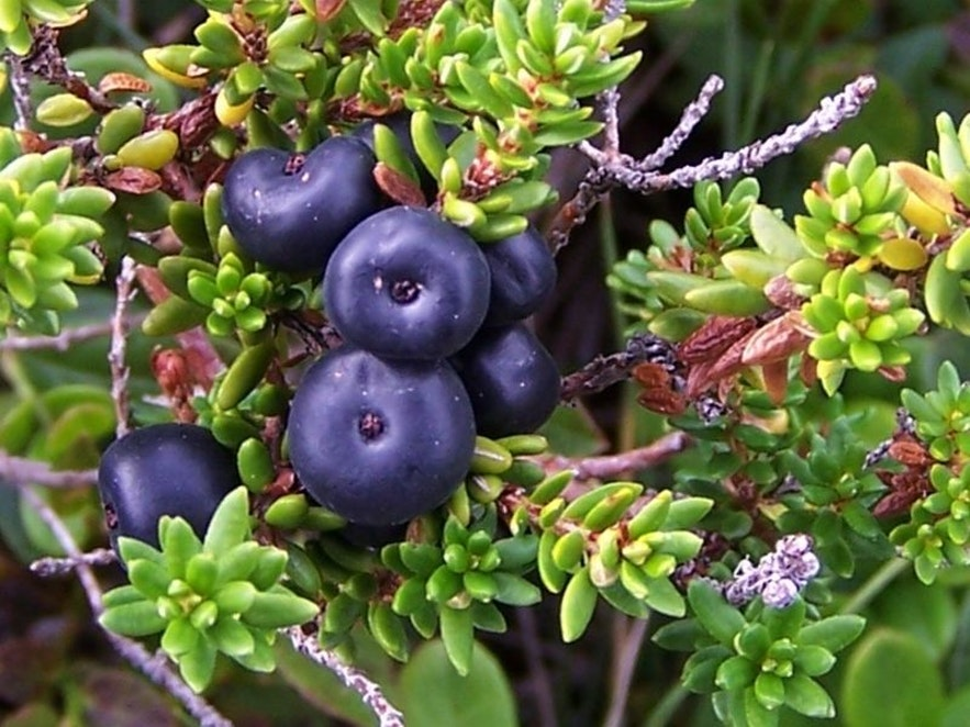 Krähenbeeren sind die am weitesten verbreiteten Beeren in Island