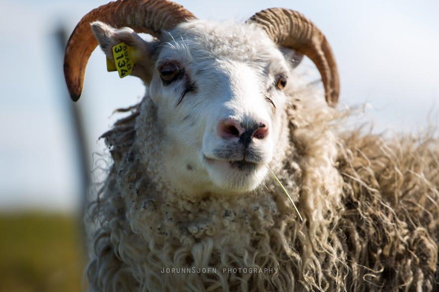 夏に放牧されるアイスランドの羊