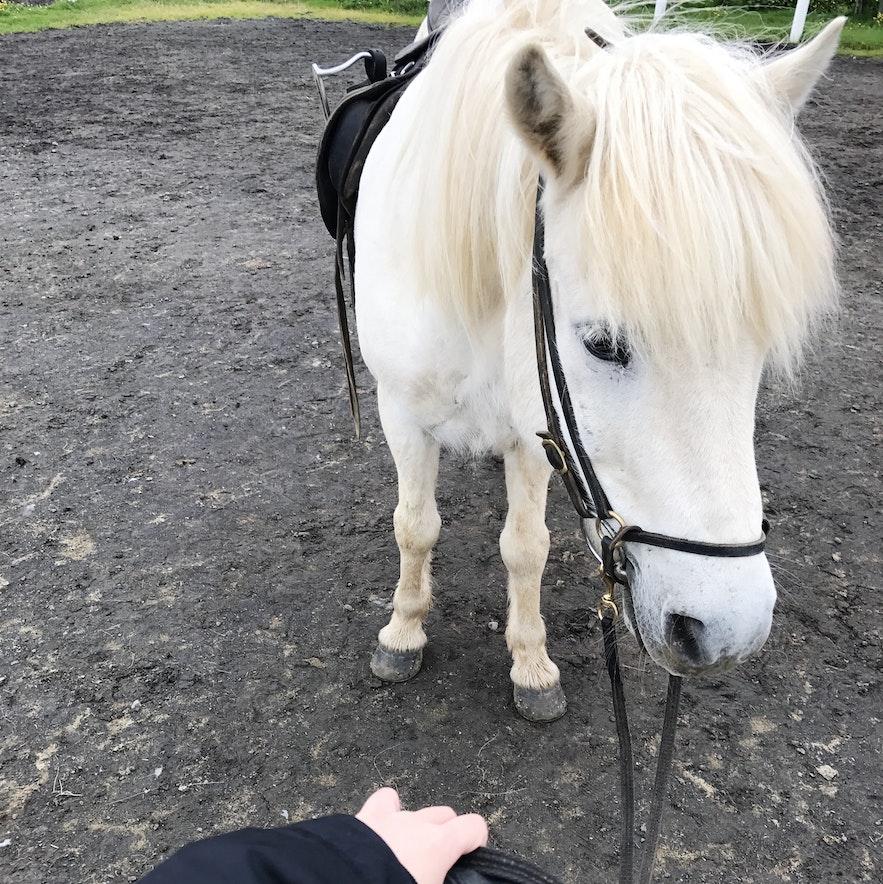 今天陪伴我的冰島馬同伴