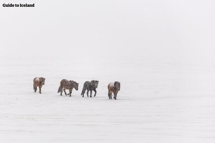 Tröllaskagi Peninsula has a huge amount of the nation's Icelandic horses, which can be seen outside unperturbed by even the harshest winter weather.