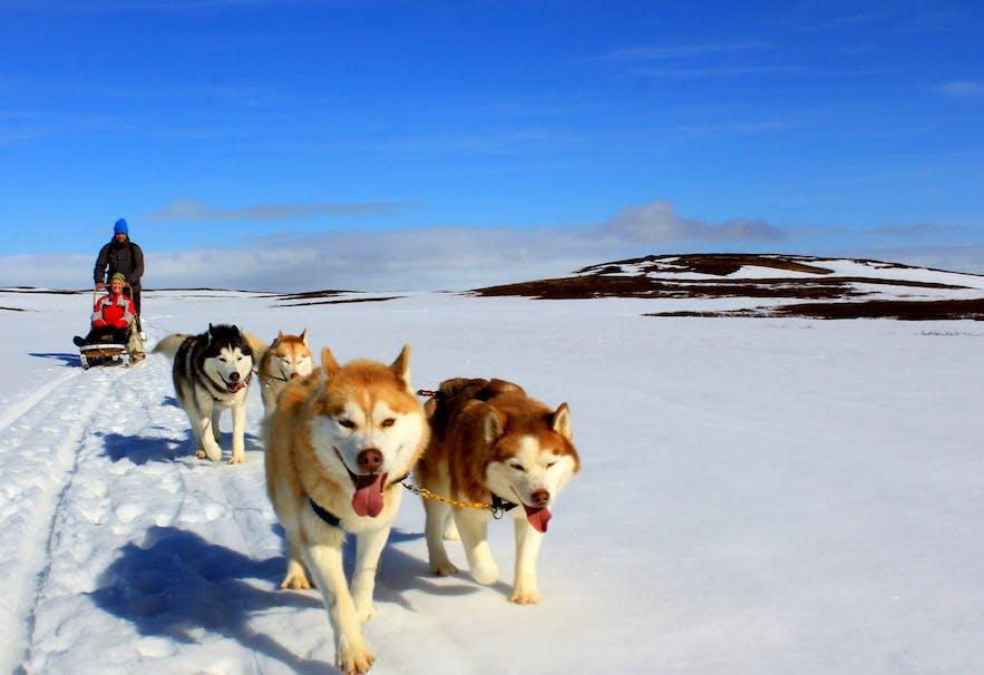 積雪する可能性が高いアイスランドは11月には犬ぞりツアーに最適な時期