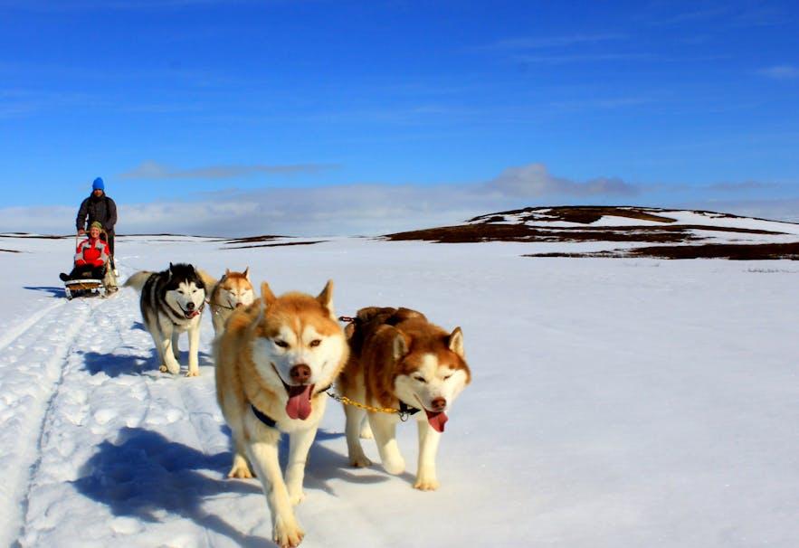 Hundeschlittenfahren ist eines der aufregendsten und einzigartigsten Erlebnisse in Island.