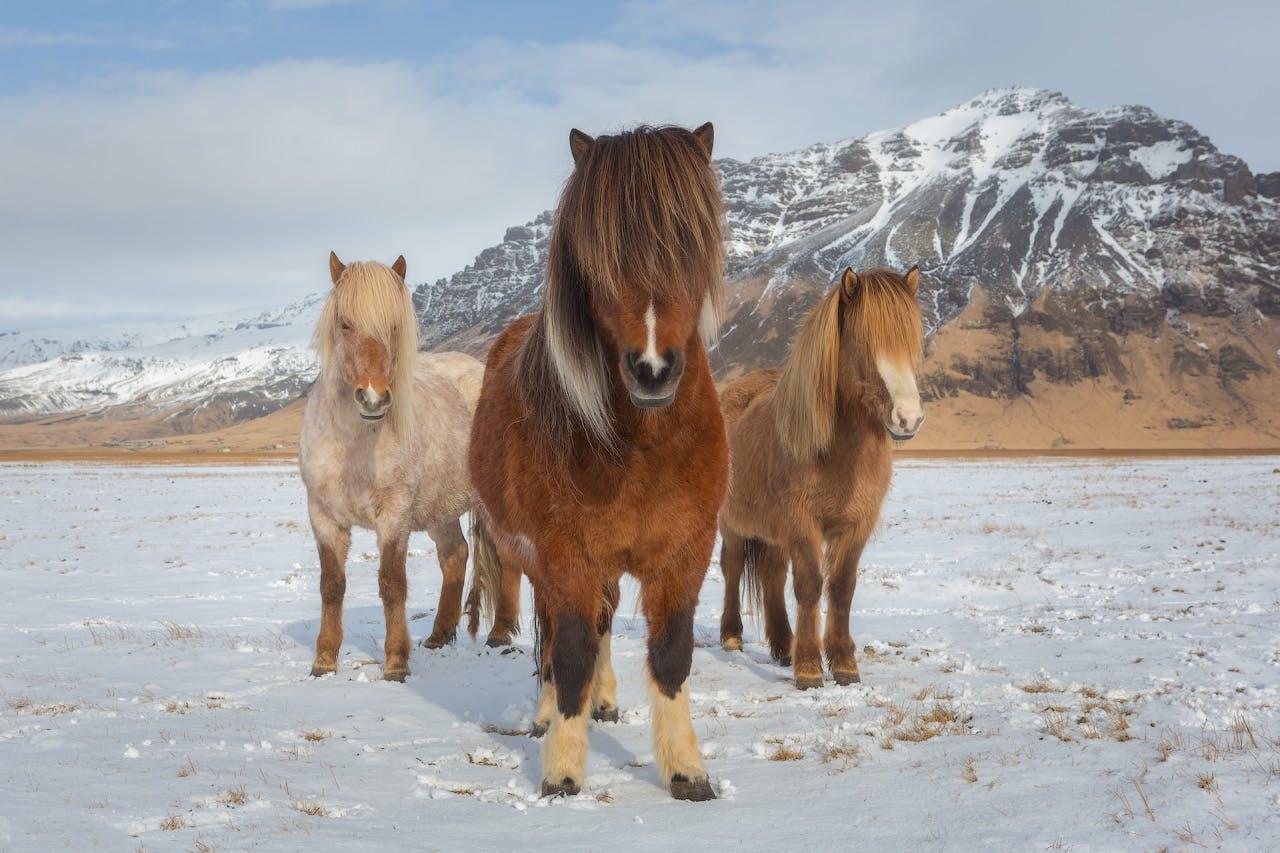 Caballos islandeses en sus peludos abrigos de invierno, en las tierras de cultivo cubiertas de nieve en el norte de Islandia.