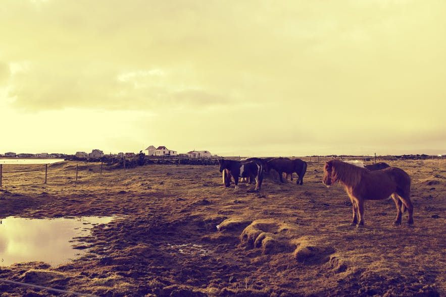 Horses at sunset in Eyrabakki- who could eat these beauties?!