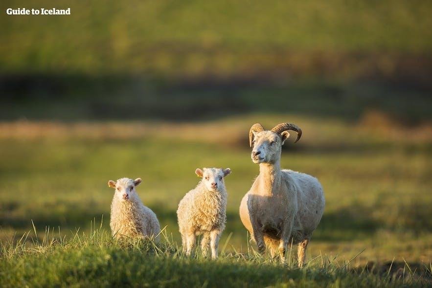 Beim Campen wirst du auf jeden Fall dem einen oder anderen freilaufendem Schaf begegnen