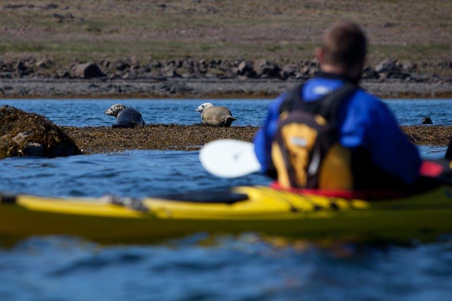Ein Kajak-Fahrer trifft auf ein paar ruhende Robben