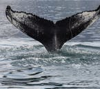 Humpback whales commonly fluke their tails.