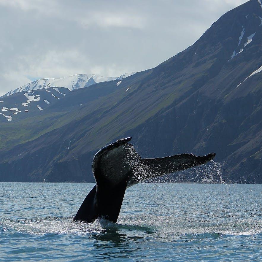 冰島胡薩維克 Husavik 觀鯨,鯨魚尾巴