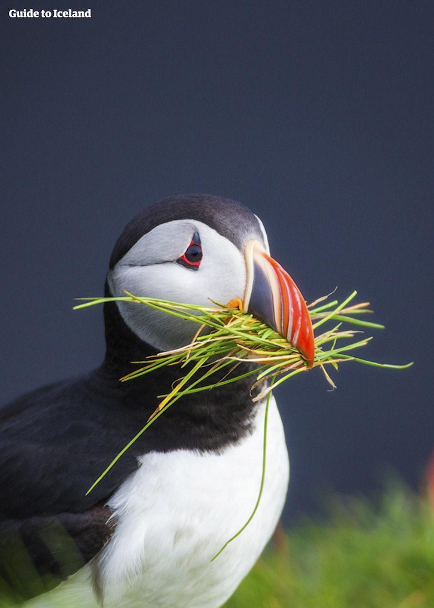 冰島國鳥Puffin