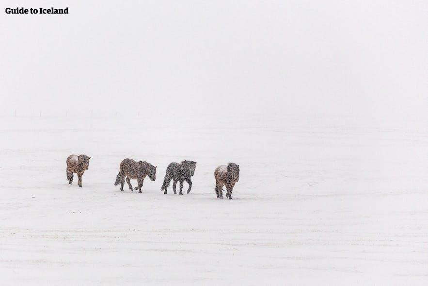 真っ白な雪が一面に広がる雪景色とアイスランドホース