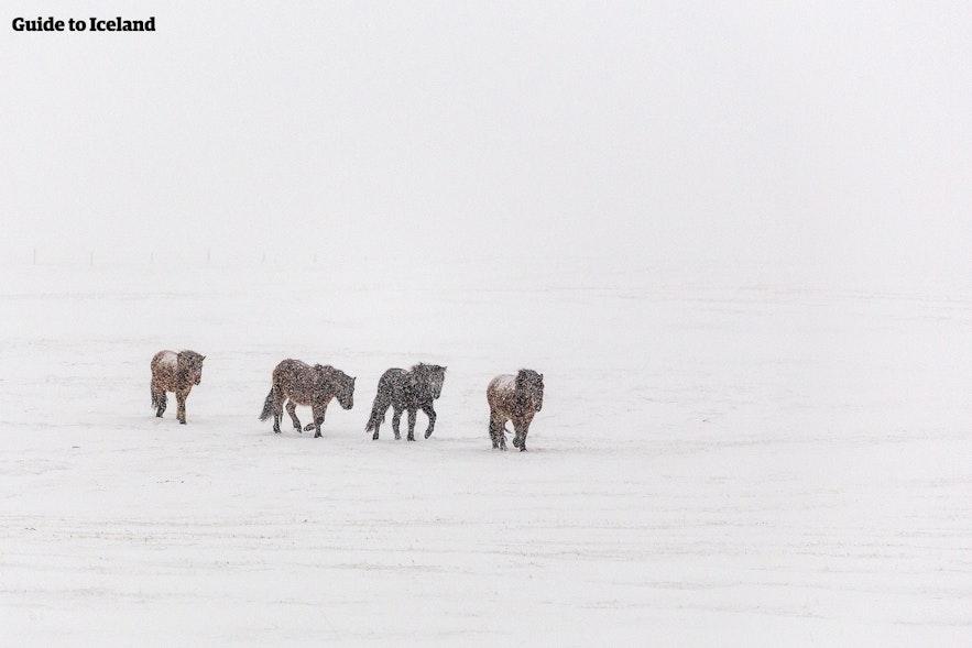 Wytrzymałe islandzkie konie w trakcie zimy