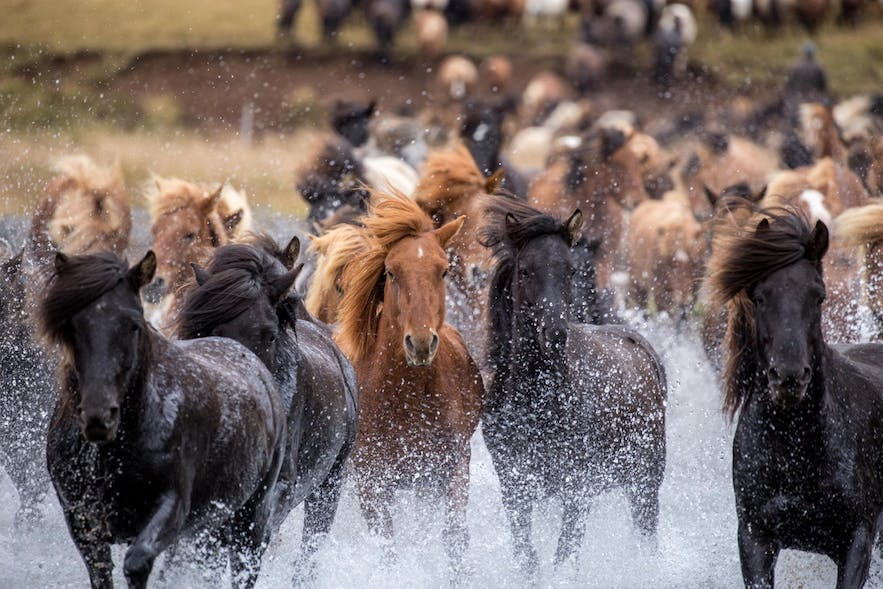 Icelandic Horses Running through Water