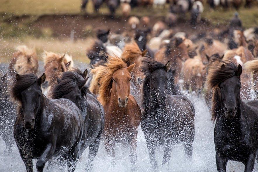 Icelandic Horses Running through Water