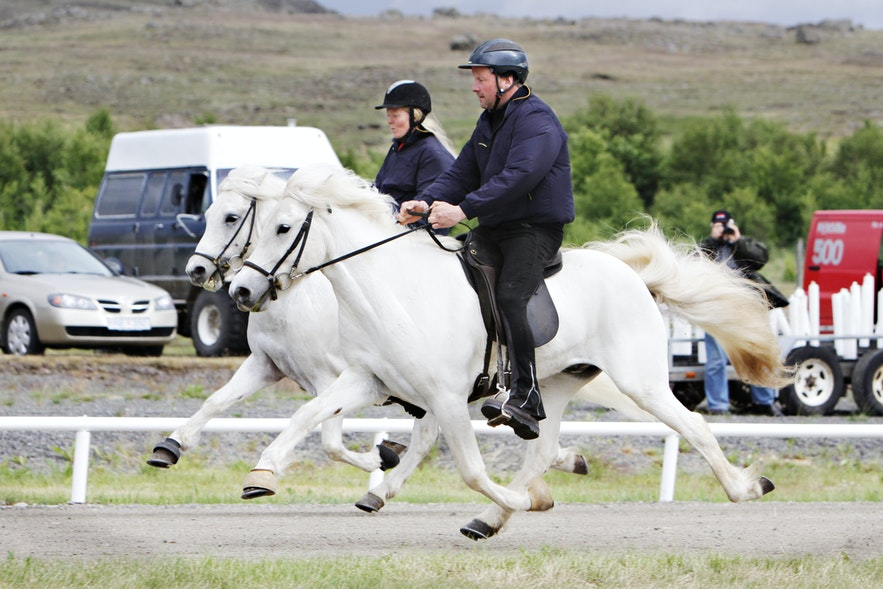 Formal riding flying pace Icelandic horses