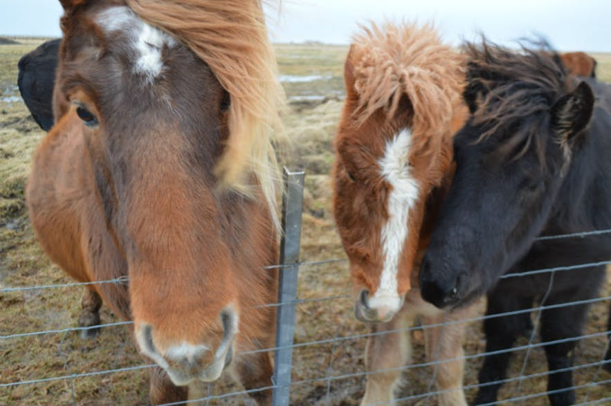 Horses in Iceland