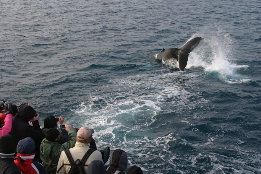 수염고래는 겨울철에 목격이 쉽지 않지만, 아이슬란드 연안에서 계속 서식중입니다.