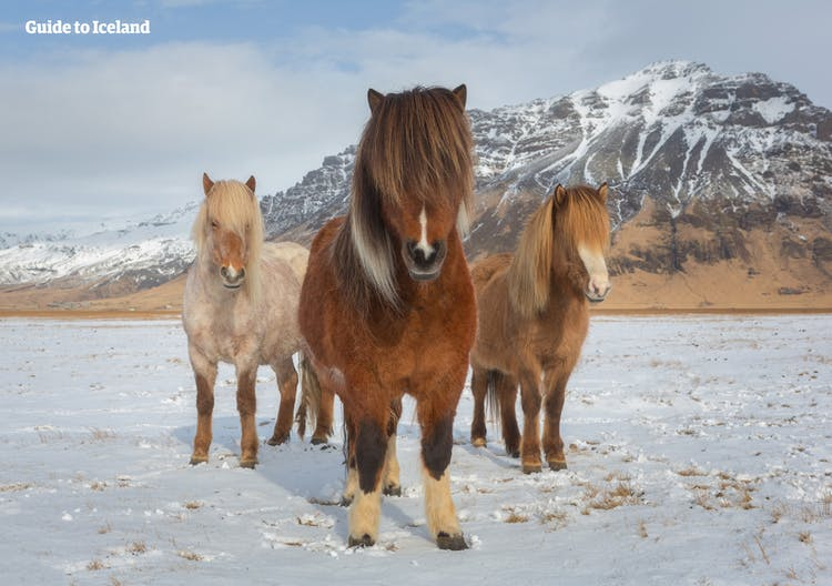 Even during winter time, you are sure to see the beautiful Icelandic horse when driving on Iceland's Ring Road.