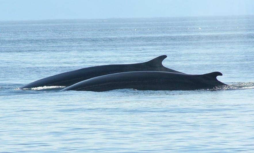 レイキャビクのファクサフロゥイ湾で撮影した2頭のミンククジラ