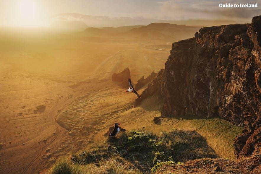 アイスランドの南海岸を飛ぶパフィン