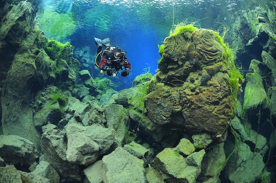 夏のシルフラの泉では各種の藻類が見られる